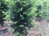 苏州买发财树选择我们,包质量,放心购买,养殖基地,同城配送