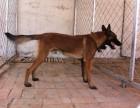 纯种小马犬价格 德国牧羊犬价格 杜宾犬