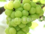 葡萄苗木 -------东方之星葡萄苗