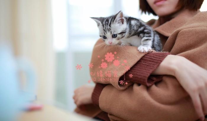 哈尔滨宠物 哈尔滨哪里的美短较便宜 纯种美短一般卖多少钱一只