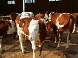 西门塔尔牛犊养殖 用优农康微生态饲料添加剂