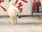 哪里有萨摩耶,纯种微笑天使萨摩耶犬出售,包纯包建康