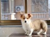 出售两色三色纯种威尔士柯基幼犬色签协议健康