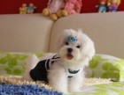重庆哪有马尔济斯犬卖 重庆马尔济斯犬价格 马尔济斯犬多少钱