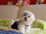 江门哪有马尔济斯犬卖 江门马尔济斯犬价格 马尔济斯犬多少钱