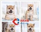 顶级柴犬繁殖基地 引进名贵种公繁殖更优秀的柴犬幼犬