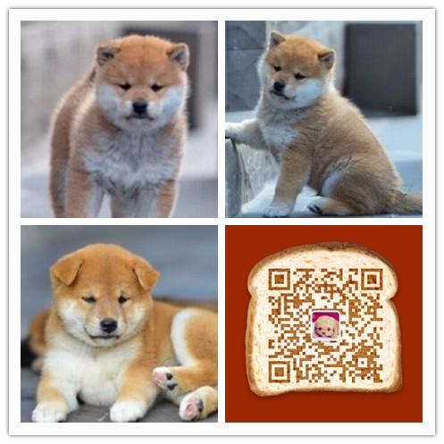 纯种柴犬价格 杭州哪里卖柴犬 多少钱