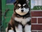 精品阿拉斯加犬出售 品种齐全 健康纯种保障当面检查
