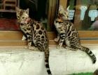 孟加拉豹猫 空心玫瑰花纹 清晰,可实地看猫