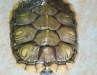 出售巴西龟一只