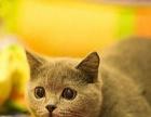 自家繁殖 精品英短蓝猫 银渐层蓝白疫苗证书齐 售后