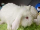 可爱宠物兔垂耳兔