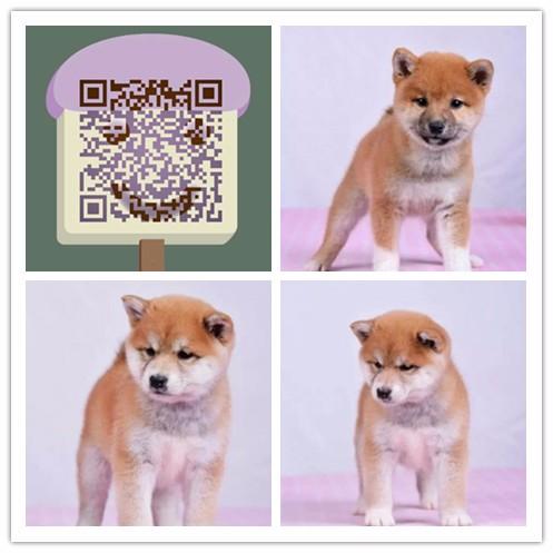 杭州哪里有柴犬卖杭州纯种柴犬多少钱杭州柴犬较便宜多少钱