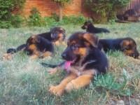 成都狗狗之家长期出售高品质 德国牧羊犬 售后无忧