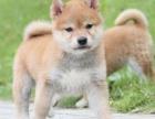 顶级柴犬幼犬,机敏聪明,多色可选,包纯种健康