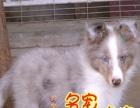佛山纯种喜乐蒂犬价格佛山哪里有卖纯种喜乐蒂犬