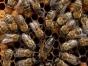 乌云镇出售150箱东北黑蜂 蜜蜂可散售 来电详谈