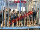 出售马犬 马犬幼崽 莱州红 杜高 东德 卡斯罗