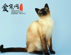 哪里有纯种暹罗猫猫舍 上海爱宠网 签协议的保证