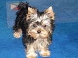 北京哪有约克夏犬卖 北京约克夏犬多少钱 北京约克夏犬图片