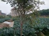 供应树葡萄,园林绿植,规格齐全,福建苗木基地直销