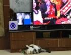 净梵三花 母 加菲猫