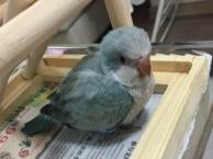 特价蓝和尚鹦鹉 绿和尚鹦鹉幼鸟 聪明上手 会说话