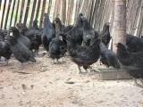 重庆绿壳蛋鸡养殖场,绿壳蛋鸡苗,脱温绿壳蛋鸡苗,高产蛋鸡苗