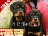 宠物狗 纯种罗威纳金毛幼犬 视频看狗 免费送货上门
