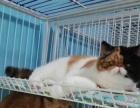 自家养三花色加菲猫母猫