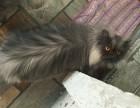 波斯猫,灰色 公猫