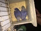 牡丹鹦鹉紫罗兰