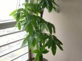 北京鸿运顺达园艺绿植租摆中心专做办公室绿植养护