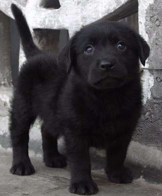 出售纯种拉布拉多猎犬幼犬导盲犬赛级品质神犬小七宠物狗狗活体