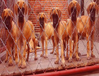 哪里有卖大丹的 大丹好训练吗 一般大丹多少钱