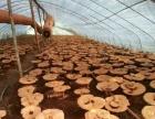 天津东丽华明镇灵芝孢子粉收集,灵芝采摘种,欢迎参观