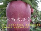 甘肃天水哪里有正宗花牛苹果树苗 花牛苹果树苗培育基地