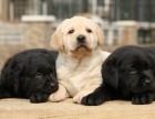 重庆出售纯种拉布拉多犬 赛级品质 健康质保 聪明灵活