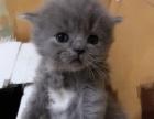 纯自己家养的小蓝猫