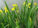 鸢尾基地 [万鼎花卉]水生鸢尾品种优异