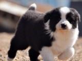 聪明勇敢边境牧羊犬幼犬出售世界最聪明的狗狗边境