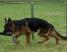 德国牧羊犬,且具备极强的工作能力,纯种 品相非常好