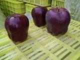 正宗新品种苹果树苗 天水花牛苹果树苗