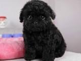 珠海买狗去哪里 珠海在哪里有卖贵宾犬 茶杯贵宾犬价格