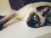 暹罗猫纯种多只健康活
