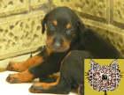 哪里出售德系纯种杜宾幼犬 杜宾最便宜多少钱