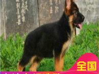 德国牧羊犬纯种多少钱 德国黑背国家一级繁驯养殖基地