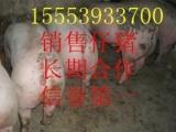 小猪苗供应市场/山东三元仔猪价格