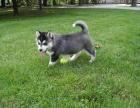 哈士奇雪橇犬纯种家养繁殖二哈出售精品家养活体宠物狗