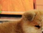 【上门优惠,包健康】家养一窝日本纯种柴犬宝宝出售